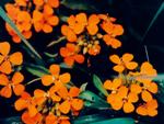 ©Himalayan Flower